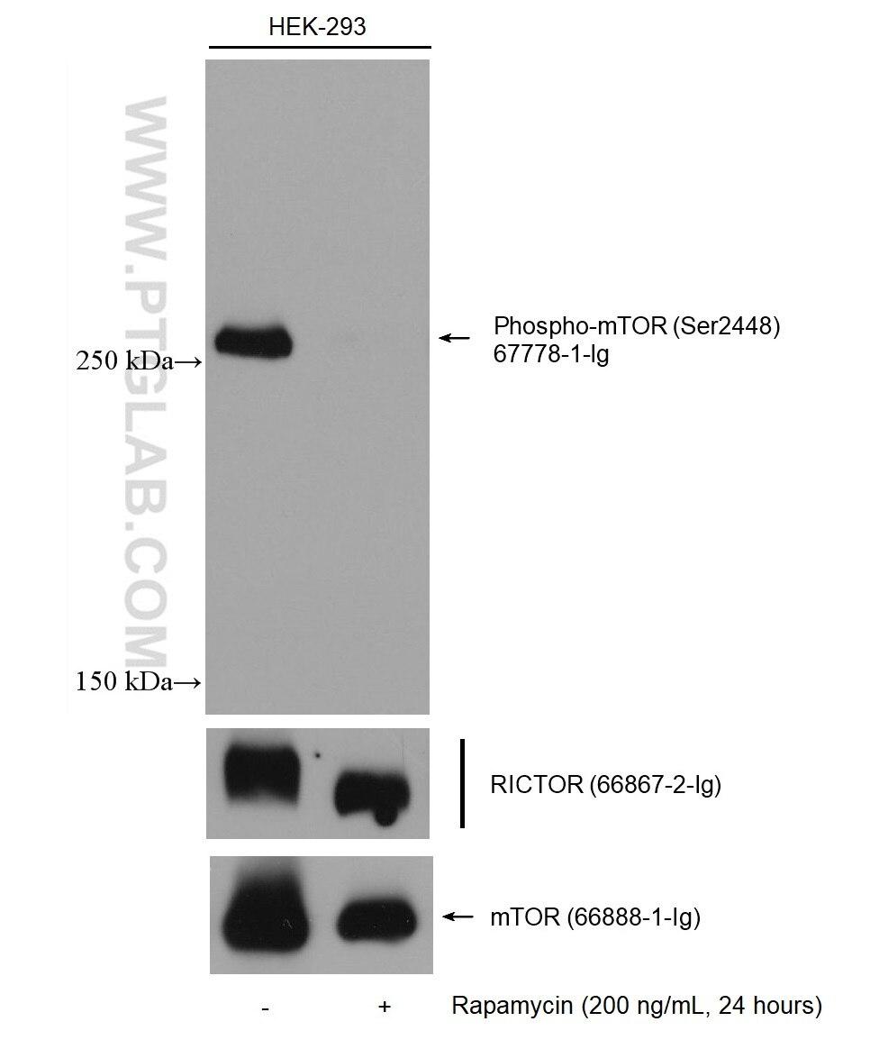 WB analysis of HEK-293 using 66888-1-Ig