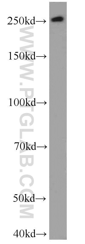WB analysis of HeLa using 55343-1-AP