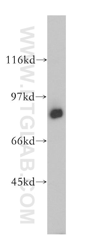 MX1 Polyclonal antibody