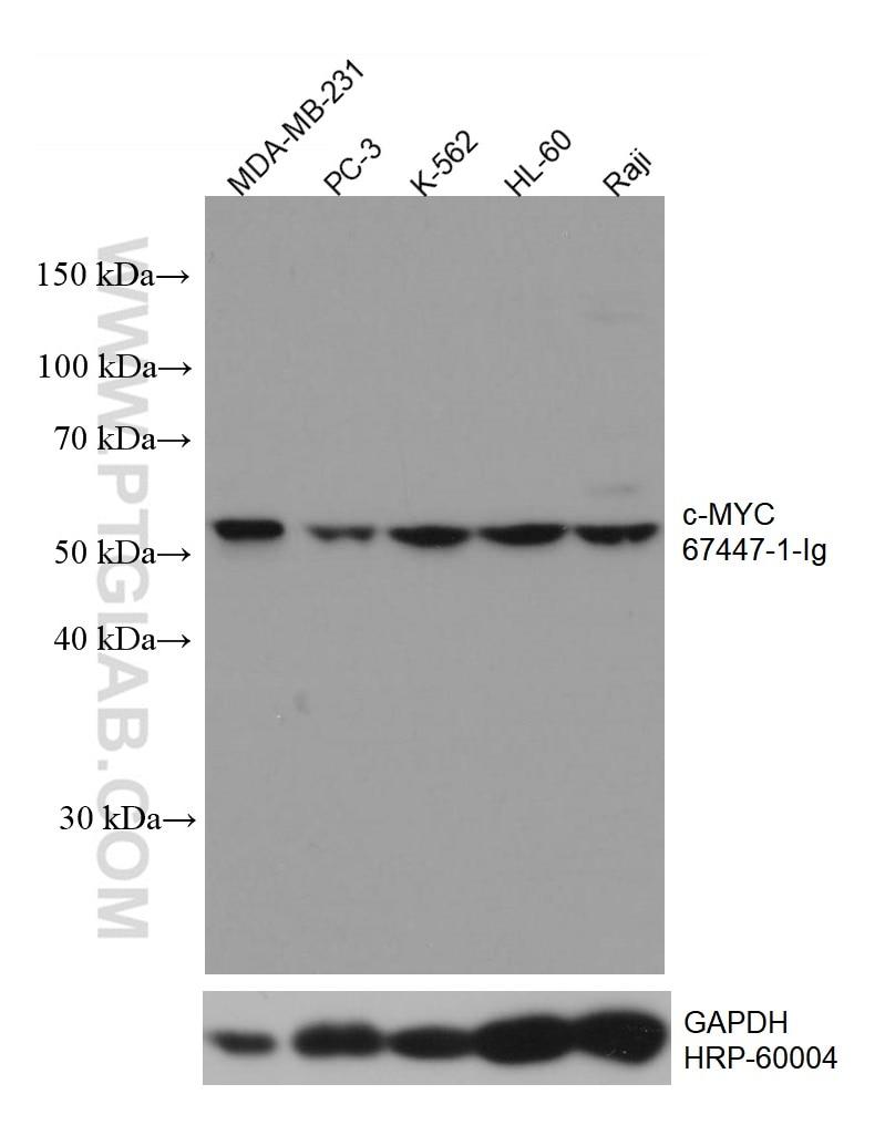 WB analysis using 67447-1-Ig