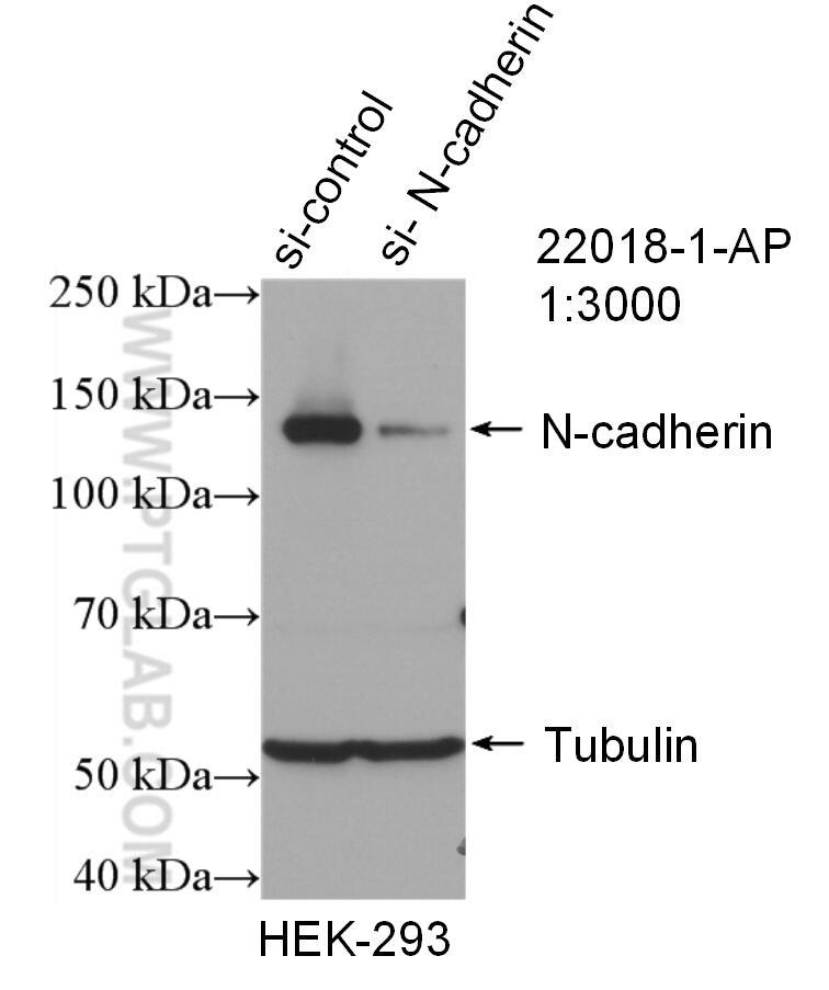 WB analysis of HEK-293 using 22018-1-AP