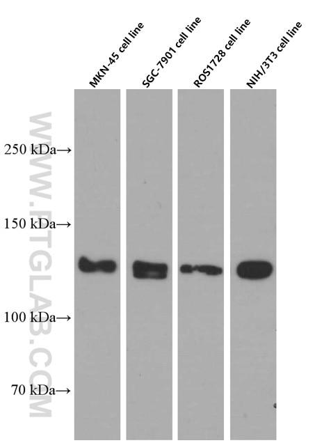 N-cadherin Monoclonal antibody