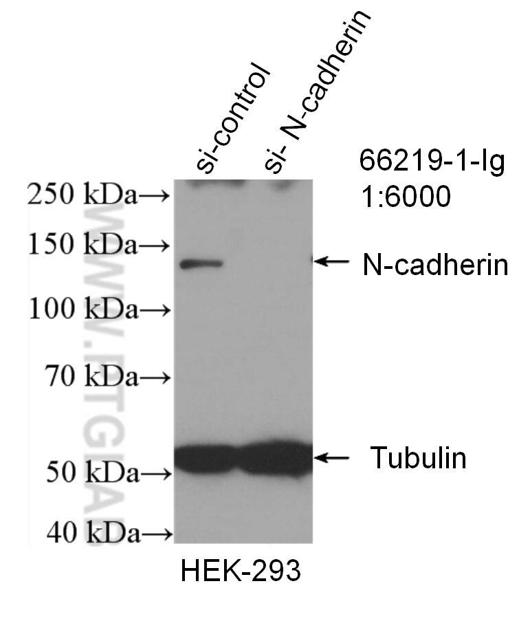 WB analysis of HEK-293 using 66219-1-Ig