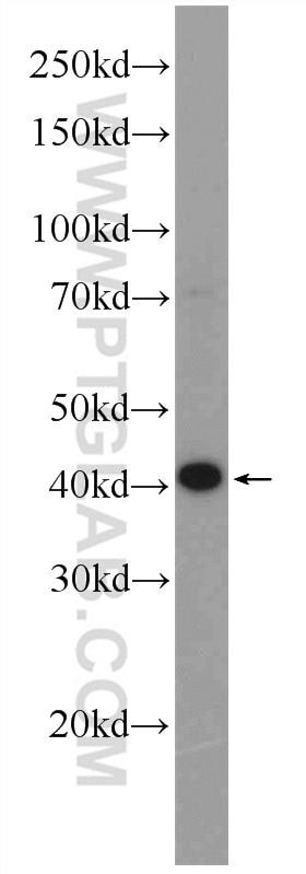 NANOG Polyclonal antibody
