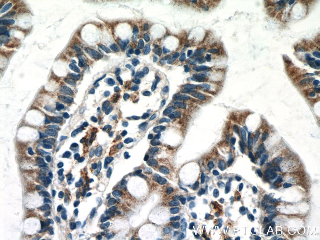IHC staining of human small intestine using 66159-1-Ig