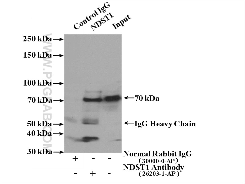IP experiment of mouse liver using 26203-1-AP