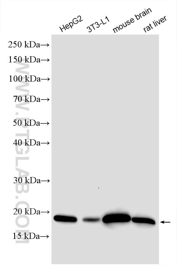 WB analysis using 14794-1-AP