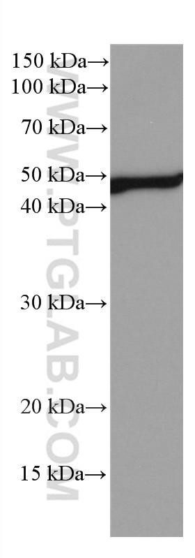 WB analysis of human peripheral blood leukocyte using 66632-1-Ig