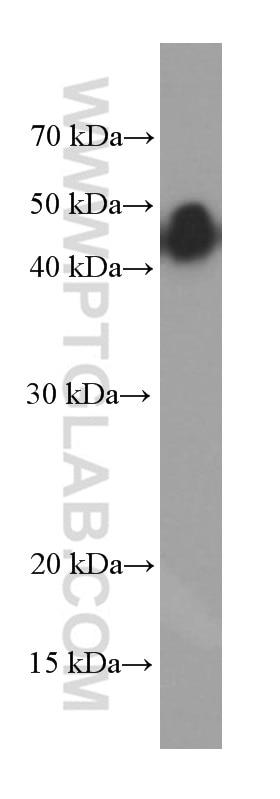 WB analysis of fetal human brain using 66253-1-Ig