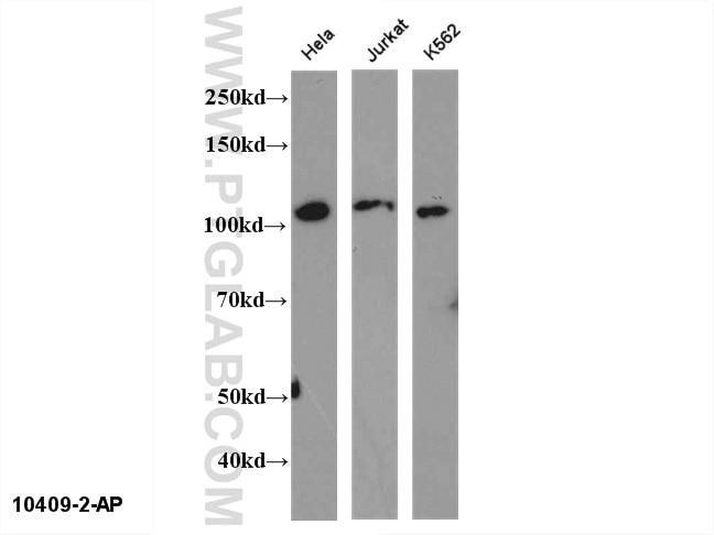 WB analysis of multi-cells using 10409-2-AP