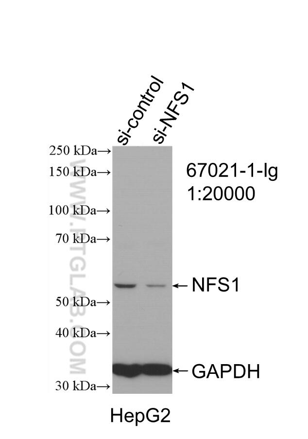 WB analysis of HepG2 using 67021-1-Ig