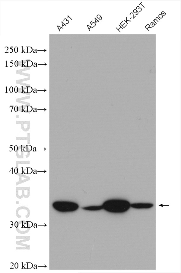 Various lysates were subjected to SDS PAGE followed by western blot with  27979-1-AP (NOSIP antibody) at dilution of 1:2500 incubated at room  temperature for ...
