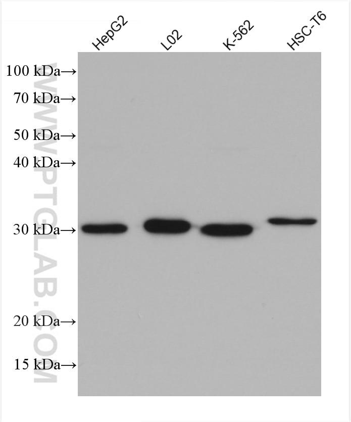 WB analysis using 67240-1-Ig