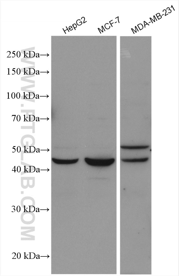 WB analysis using 25055-1-AP