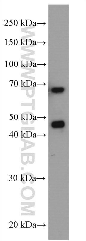WB analysis of A431 using 12482-1-AP