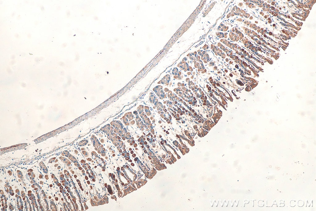 IHC staining of mouse stomach using 10527-1-AP
