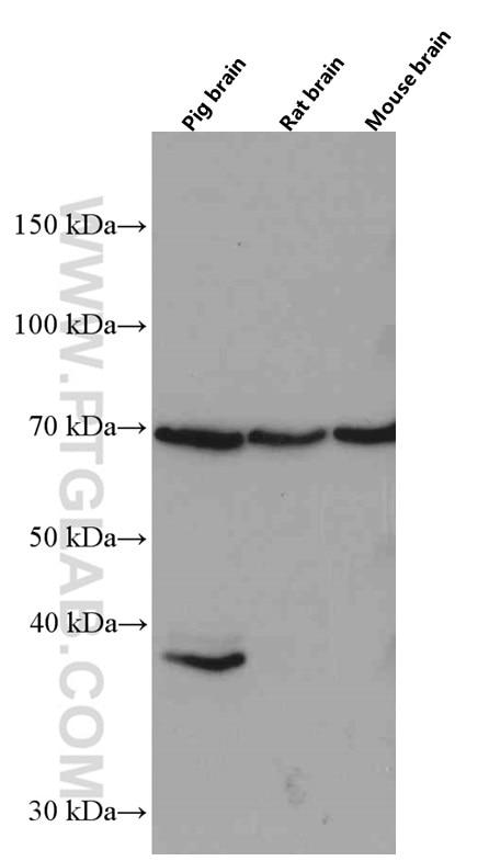 WB analysis of pig brain using 66492-1-Ig