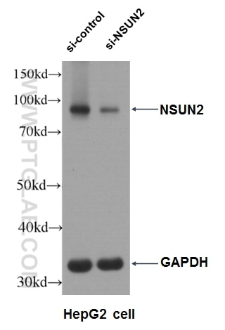 WB analysis of HEK-293 using 20854-1-AP
