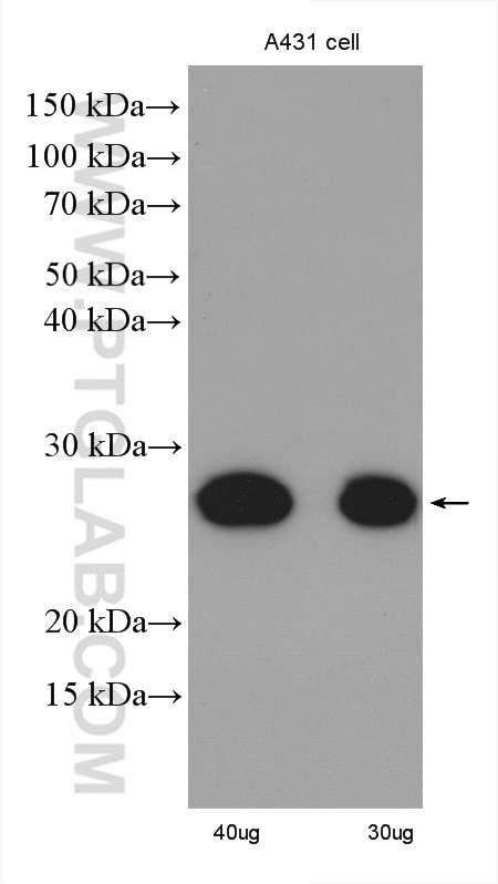 WB analysis of A431 using 10322-1-AP