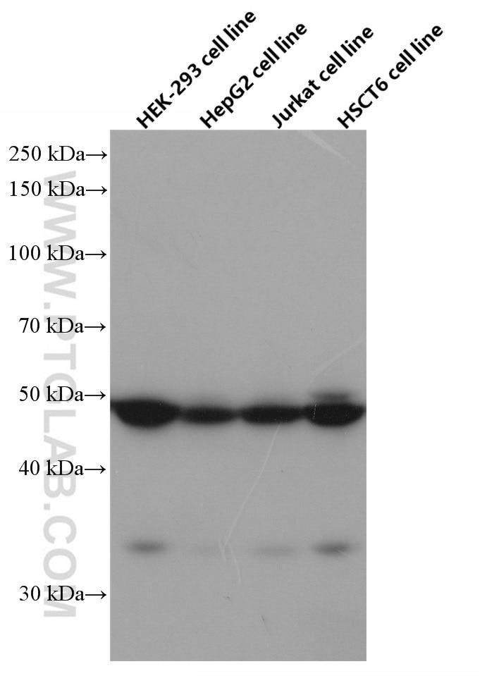 WB analysis of HEK-293 using 66603-1-Ig