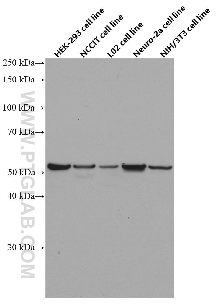 WB analysis using 60242-1-Ig
