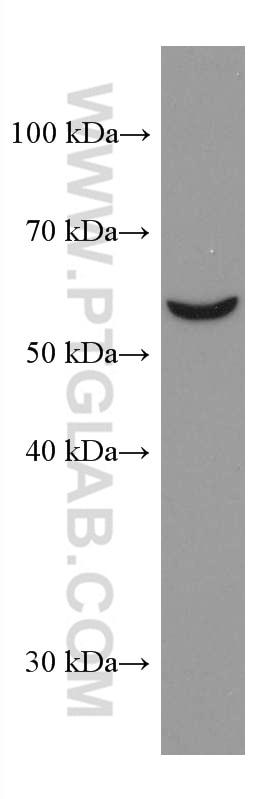 WB analysis of NIH/3T3 using 67449-1-Ig