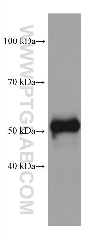 WB analysis of rat heart using 67836-1-Ig