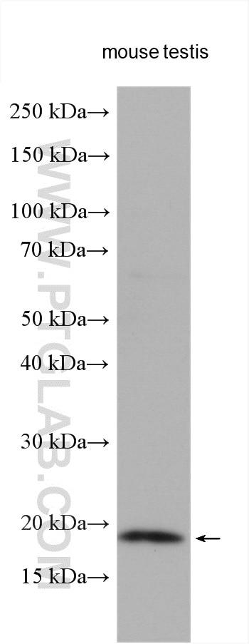 WB analysis using 10272-2-AP