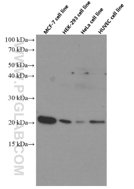 P21 Monoclonal antibody