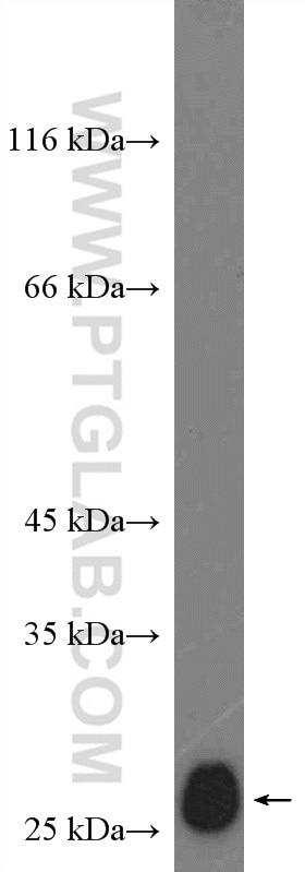 WB analysis of NIH/3T3 using 26714-1-AP