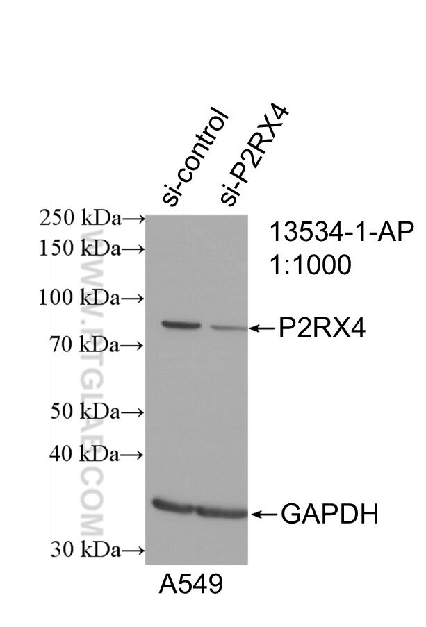 WB analysis of A549 using 13534-1-AP