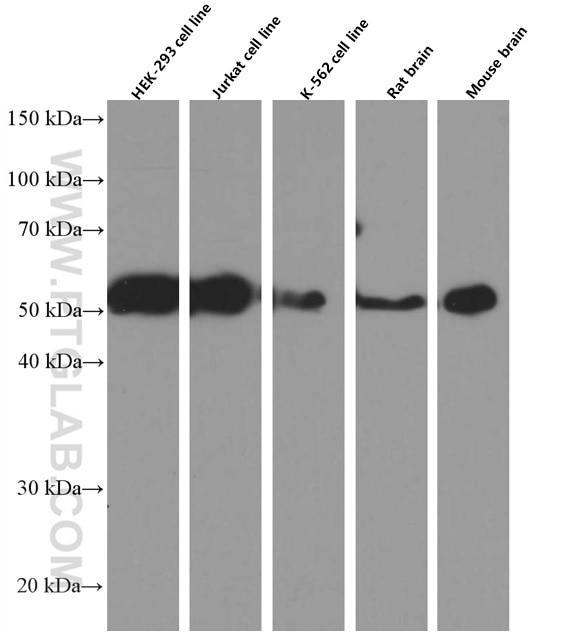WB analysis using 66430-1-Ig