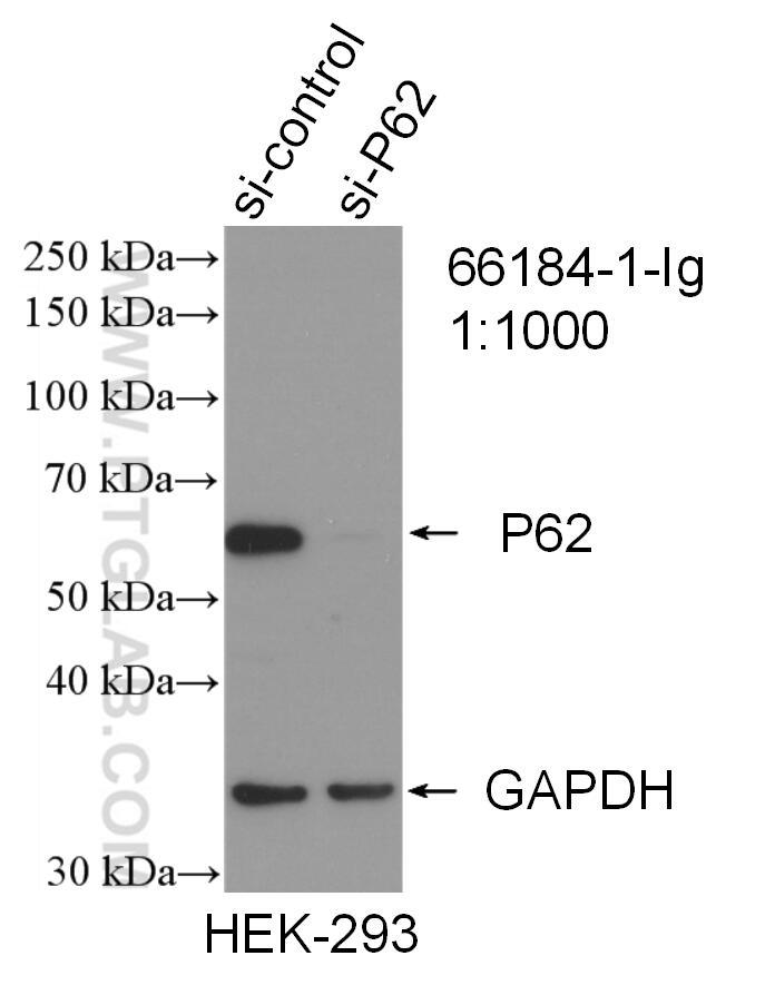 WB analysis of HEK-293 using 66184-1-Ig