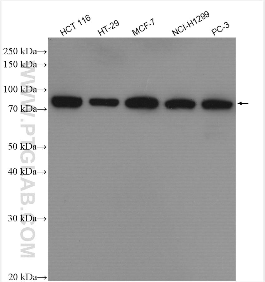 WB analysis using 10970-1-AP