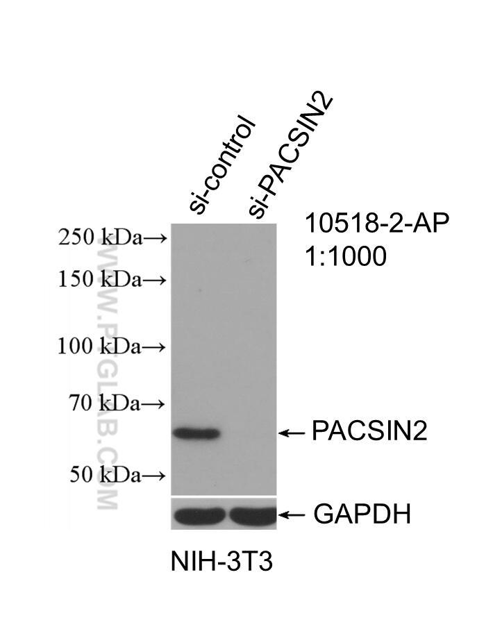 WB analysis of NIH/3T3 using 10518-2-AP