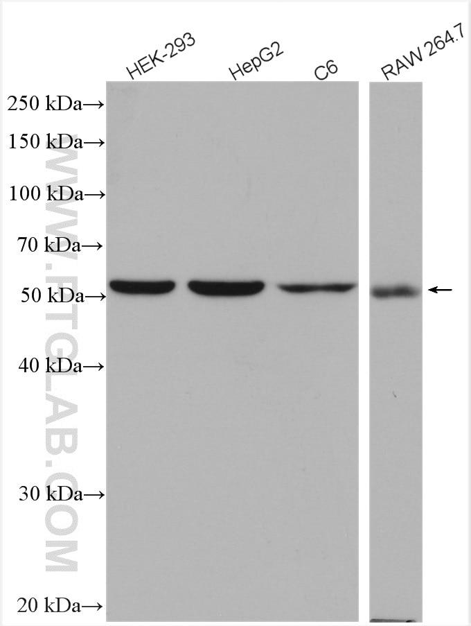 WB analysis using 17373-1-AP