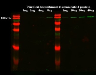 WB analysis of Purified protein using 17373-1-AP