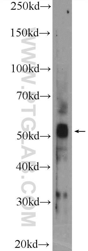 14060-1-AP;C6 cells