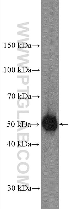 14060-1-AP;PC-12 cells