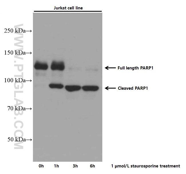 WB analysis of Jurkat using 66520-1-Ig