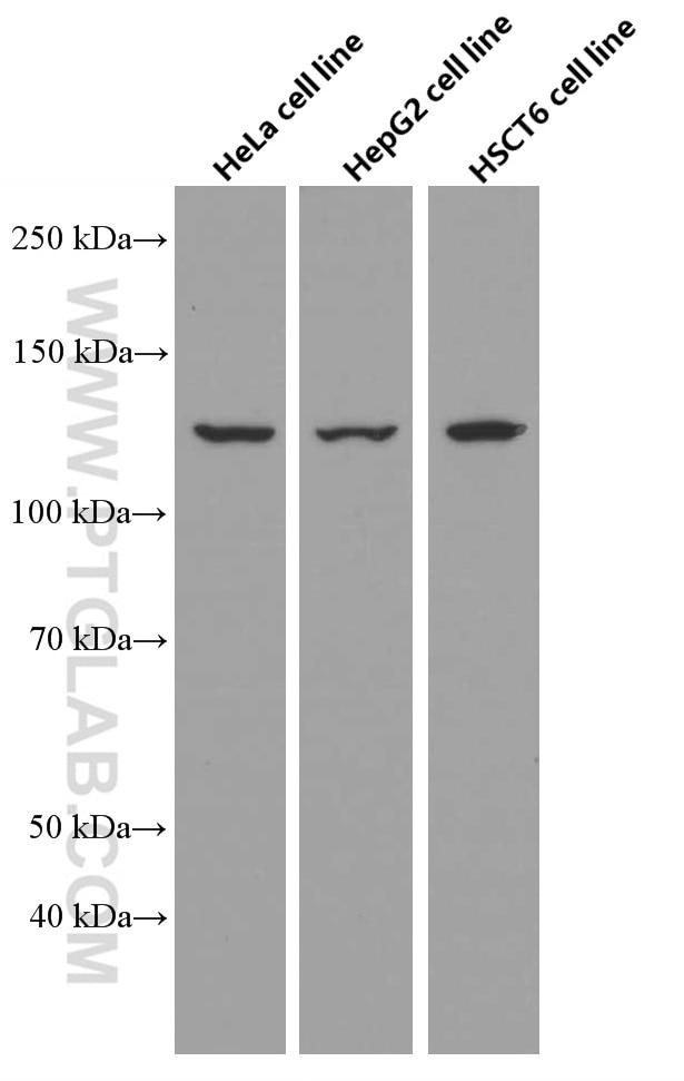 WB analysis using 66615-1-Ig