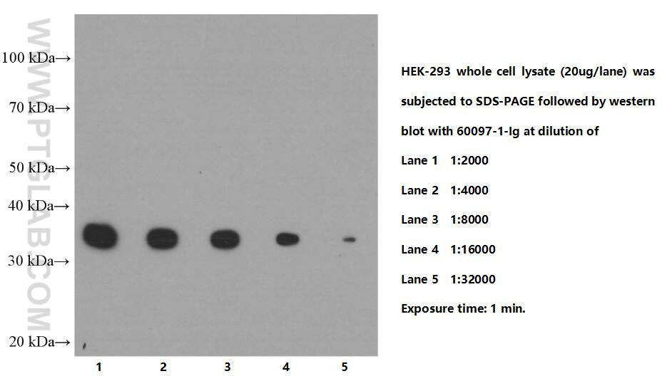 WB analysis of HEK-293 using 60097-1-Ig