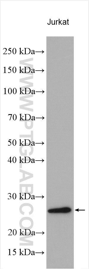 WB analysis using 11180-2-AP