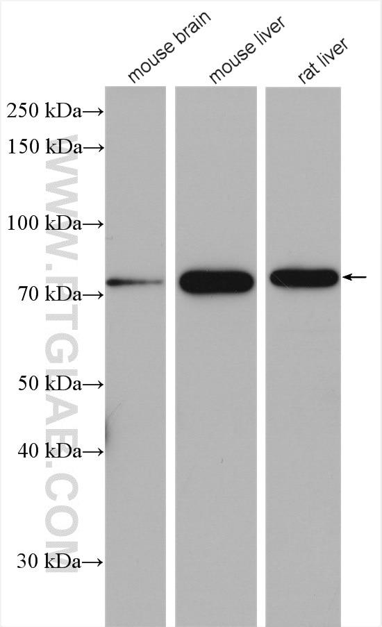 WB analysis using 14712-1-AP