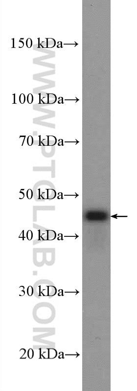 PEX13 Polyclonal antibody