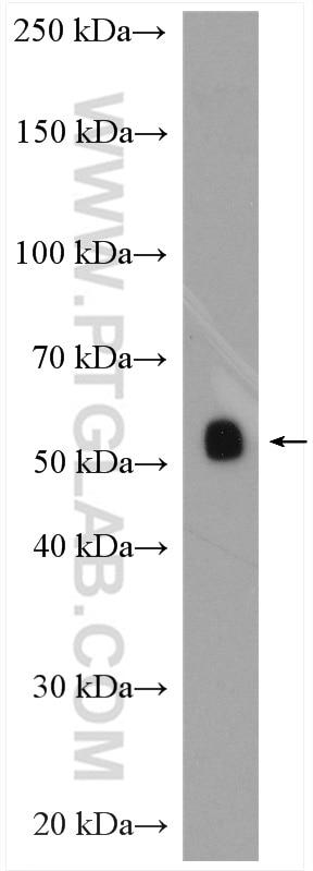 WB analysis of human placenta using 10642-1-AP
