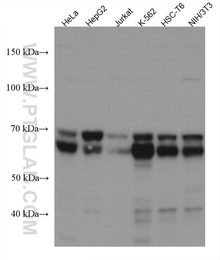 WB analysis using 67564-1-Ig