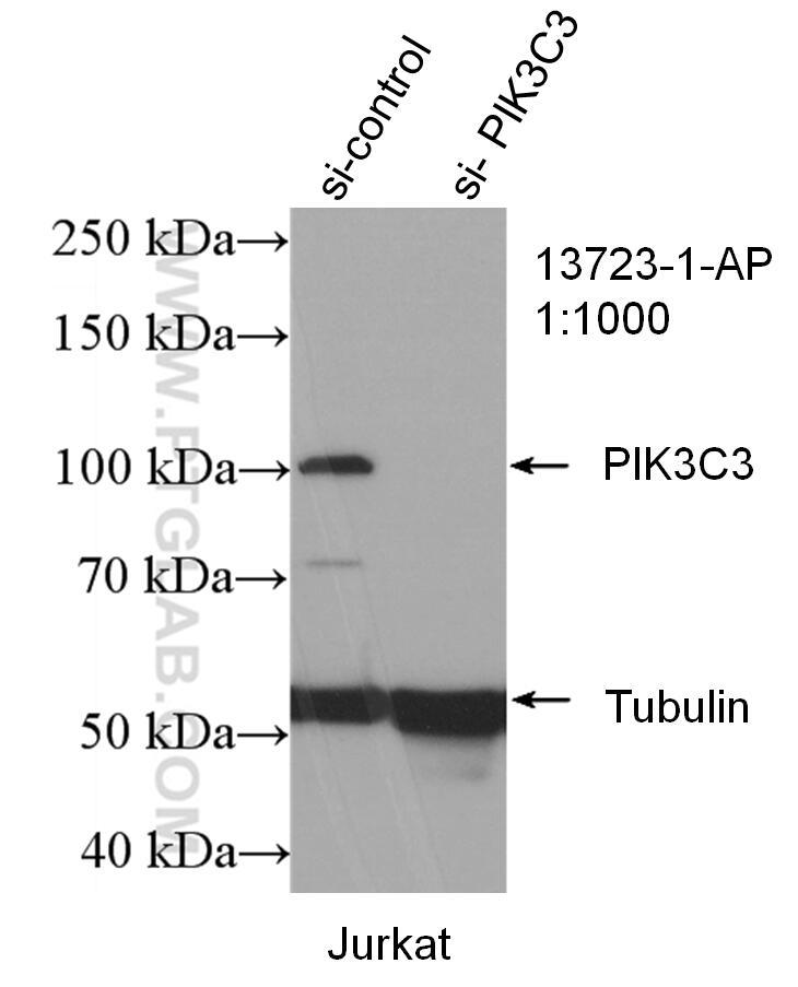 WB analysis of Jurkat using 13723-1-AP