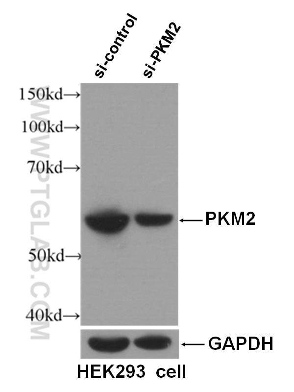 WB analysis of HEK-293 using 60268-1-Ig