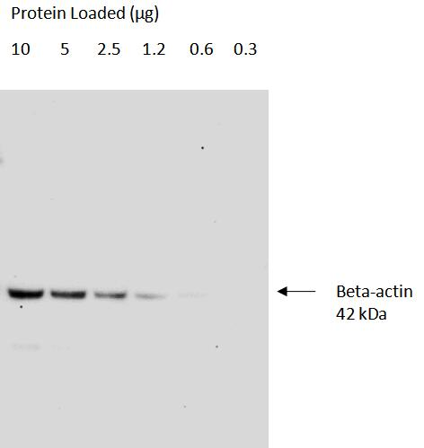 Serial dilutions of Hela cell lysates<br>Primary: Proteintech Proteintech, beta-actin (66009-1-Ig); 1:50,000<br>Secondary: Quanta BioDesign HRP-Goat anti-Mouse IgG (H&L) (11-0101-0303) 1:50,000<br>Exposure Time: 30 seconds<br>SignalBright Pro Chemiluminescent substrate